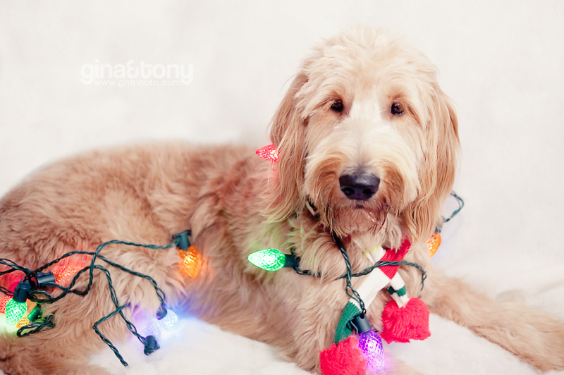 holiday goldendoodle